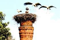 Českomoravská vrchovina se těší slušné populaci našeho největšího stěhovavého ptáka. Žel, s obtížemi si čáp bílý hledá vhodné místo pro stavbu hnízda. U rybníka Podedvorník v Mirošově čápům už nepotřebný komín nezbořili.