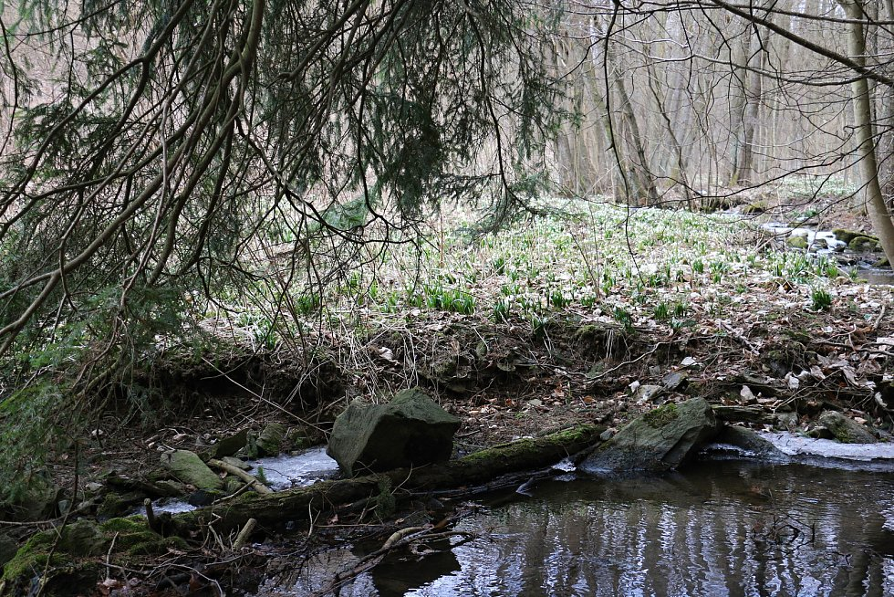 Břehy Chlébského potoka zdobí rok co rok bílé koberce bledulí.