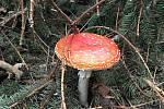 Lesy jsou plné hub, jedlých, nejedlých i jedovatých.