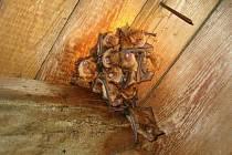 Kolonie samic netopýrů brvitých v domě v Dalečíně.