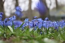 Tradiční trávníky kvetou už od jara.