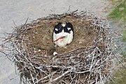 """Vojnově Městci nalezli ornitologové v hnízdě teprve čerstvě narozená """"mimina""""."""