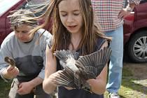 Po nasazení hliníkového kroužku jsou ptáci vypuštěni zpět do volné přírody.