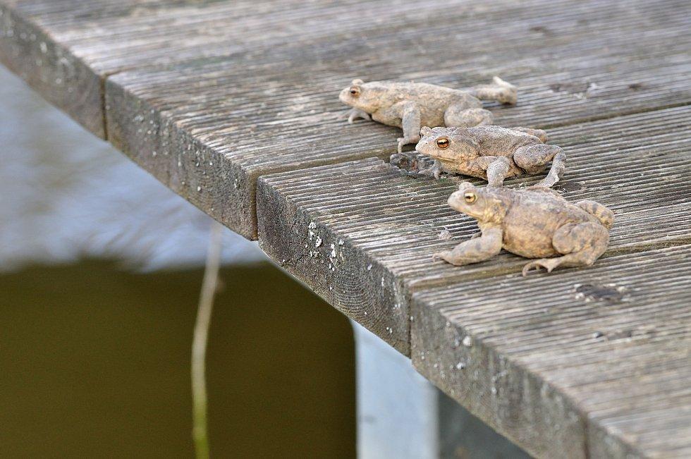 Období putování žab do rybníků nejen na Vysočině se blíží.