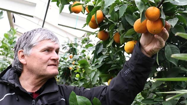 Petr Broža má plný skleník pomerančů, mandarinek a citronů..