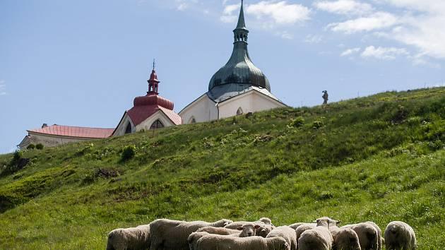 Ovce na Zelené Hoře ve Žďáře nad Sázavou.