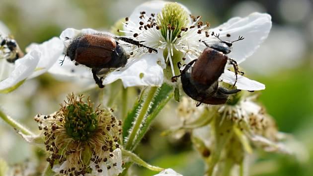 Zahrádkáře trápí listokaz zahradní. Pochutnává na listech, květech a pupenech ostružin, růží, jabloní, třešní, hrušní a dalších stromů, keřů a rostlin.