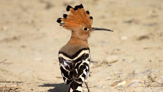 Nepřehlédnutelný pták velikosti hrdličky s chocholkou na hlavě se na chvíli zastavil ve Žďárských vrších.
