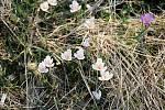 Nenápadná louka ukrývá vzácný šafrán bělokvětý.