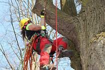 Odborníci na ošetřování stromů rozhodně nesmějí mít strach z výšek. Jimramovská lípa se šplhá přes třicet metrů vysoko. Korunu stromu arboristé zkrátili a zbavili suchých a nemocných větví.