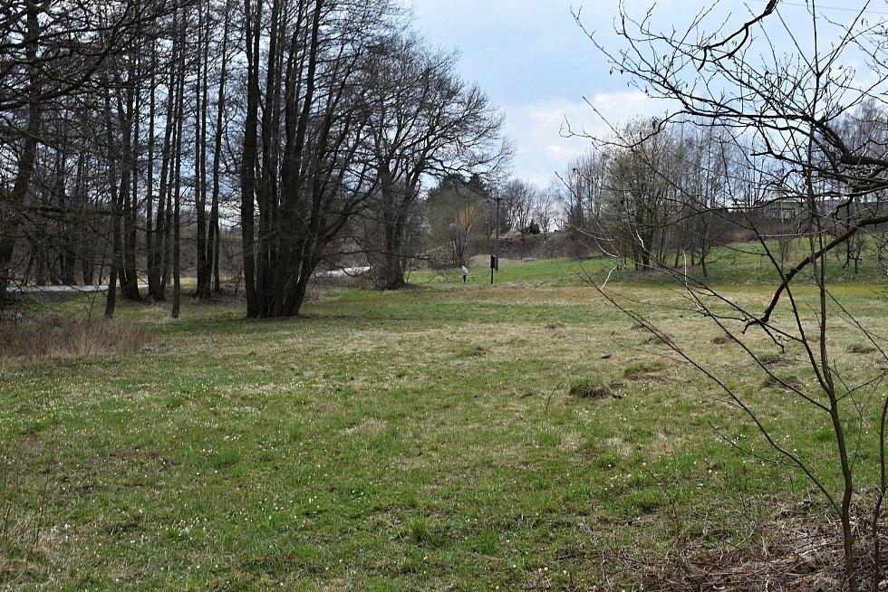 Šafrány bělokvěté v lokalitě Bezděkov.
