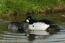 Samice hohola severního (vlevo) je oproti samečkovi (vpravo) zbarvena spíše nenápadně.