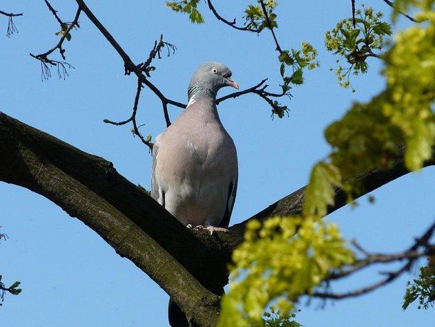 Dva druhy holubů, hřivnáč i doupňák, se už do Žďárských vrchů vrátily.