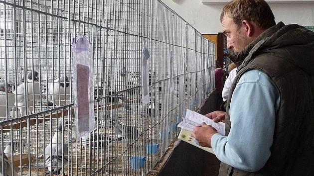 Užitkovou i okrasnou drůbež, holá morčata či zakrslé králíčky mohou zájemci vidět v Bohdalově na Žďársku při Výstavě Vysočiny ještě také v neděli 3. října od 8 do 14 hodin.