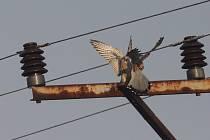Poštolky sedící na nebezpečné rovinné konzole bez zabezpečení. Zde stačí, když se křídlo dostane do blízkosti vodiče a nastane výboj.