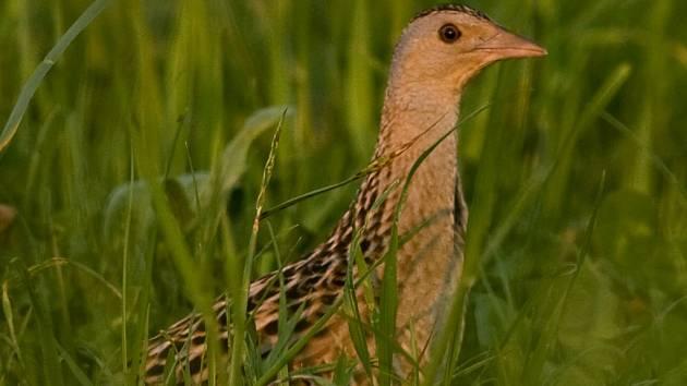 Stěží zahlédnutelný pták se těší velké pozornosti ochranářů. Vlivem zemědělské činnosti jeho počty na celém území České republiky neustále klesají. I proto jsou zemědělcům nabízeny dotace na pozemky, na nichž chřástal hnízdí.