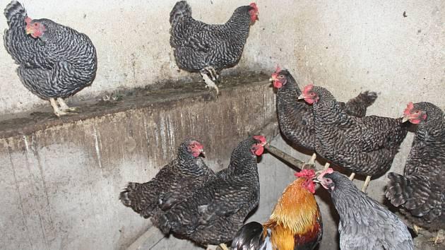 Kvůli ptačí chřipce dnes sčítali ve Štěpánově nad Svratkou domácí drůbež, okrasné ptactvo a jiné opeřence. Ludmila Ostrížová má 13  slepic a kohouta, všechny je zavřela do kurníku.