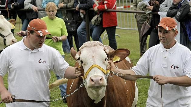 """O titul """"kraví miss"""" usilovala stovka dojnic z celé republiky"""