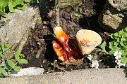 Mykolog se pokouší vzácnou houbu dopěstovat v domácích podmínkách.