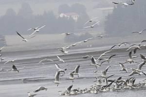 očně se u Veselského rybníka vystřídá na 70 druhů ptáků.