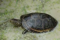 Želva bahenní - nalezenec ze Žďárských vrchů je velký více než čtyřiadvacet centimetrů.