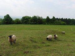 Turisté se ve Žďárských vrších mohou setkat se stády ovcí.