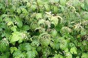 Brouci podobní chroustům si pochutnají na listech, poupatech i květech.