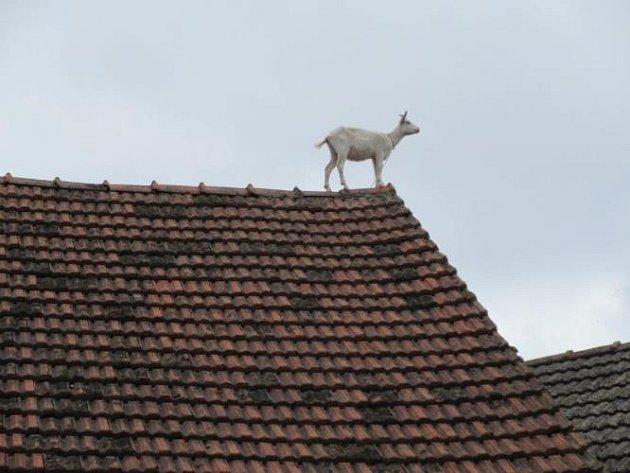 Kůzle na střeše.