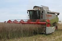Nedělní bouřky poničily pole s řepkou. Ilustrační foto.