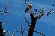 Párek divokých holubů hřivnáčů zahnízdil na vchodem do domu