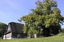 Památný strom, který najdete v Telecím v Chráněné krajinné oblasti Žďárské vrchy, je vysoký okolo dvaadvaceti metrů a má bezmála dvanáctimetrový obvod kmene.