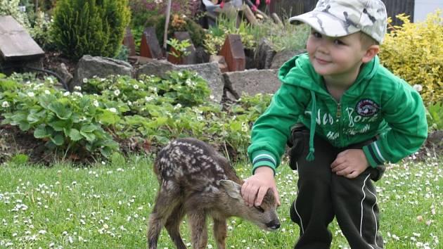 Čtrnáctidenní srneček, který dostal jméno Bambi, pobíhá po zahradě u rodinného domu Pešlových v Budči, v noci ovšem spí uvnitř v proutěné truhle. Radost z nového člena rodiny mají především děti.