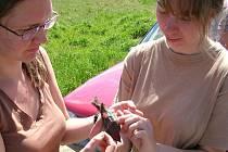 Pět samců hýla odchycených u Milov má už na zádech nové geolokátory. Za rok při návratu ptáků na hnízdiště se je pokusí ornitologové zase odchytit a získat tak data z přístroje.