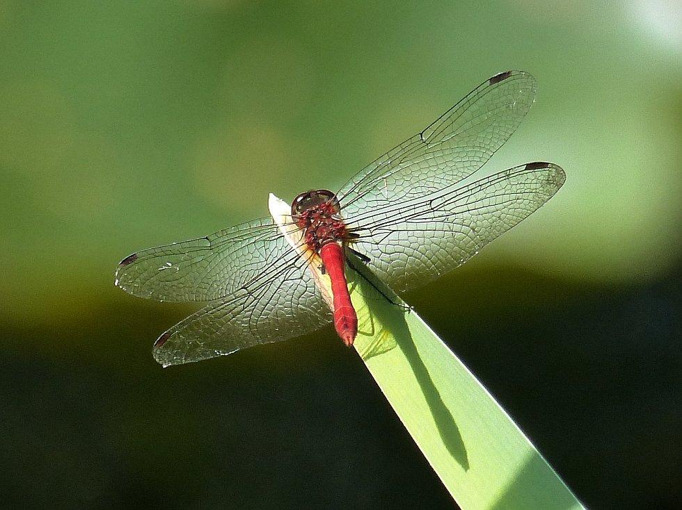 Vážka rudá - foto Jan Moravec