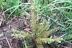 Klikoroh borový napadá malé stromečky.