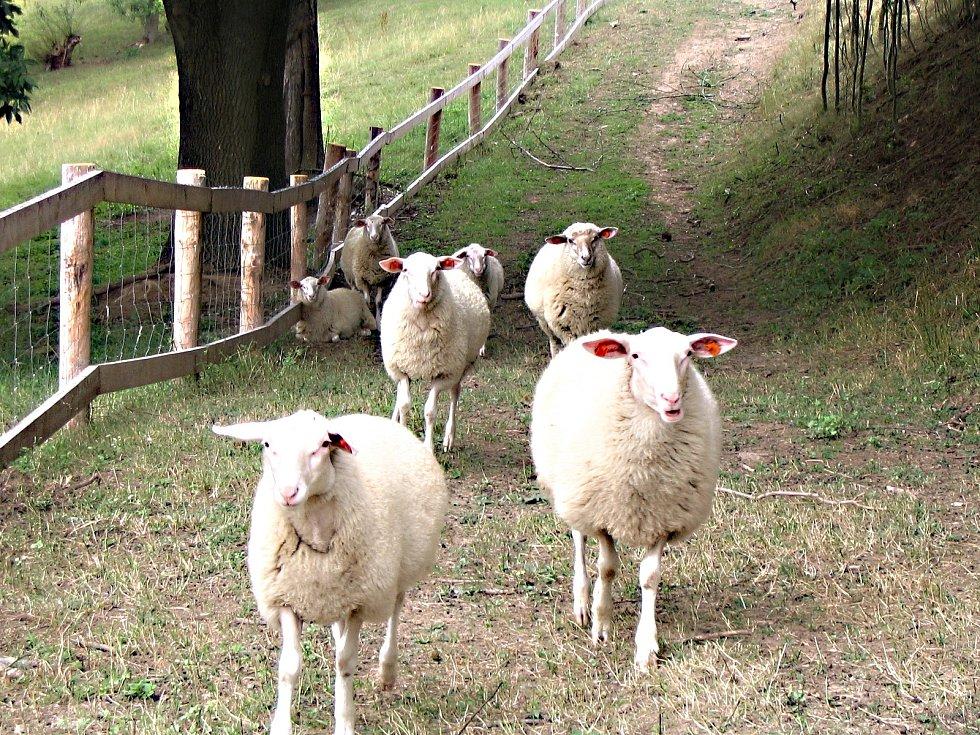 Ovčí stáda se používají jako živé sekačky.