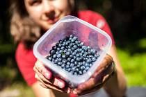 Modrofialové plody se stále těší velké oblibě. Do lesních porostů se za nimi vydávají celé rodiny. Sbírají je děti, rodiče i prarodiče.