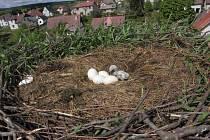 V čapím hnízdě na komíně v Herálci byla dvě mláďata a také vejce. Dolů je snášeli hasiči za dohledu pracovníků CHKO Žďárské vrchy a Záchranné stanice Pasíčka .