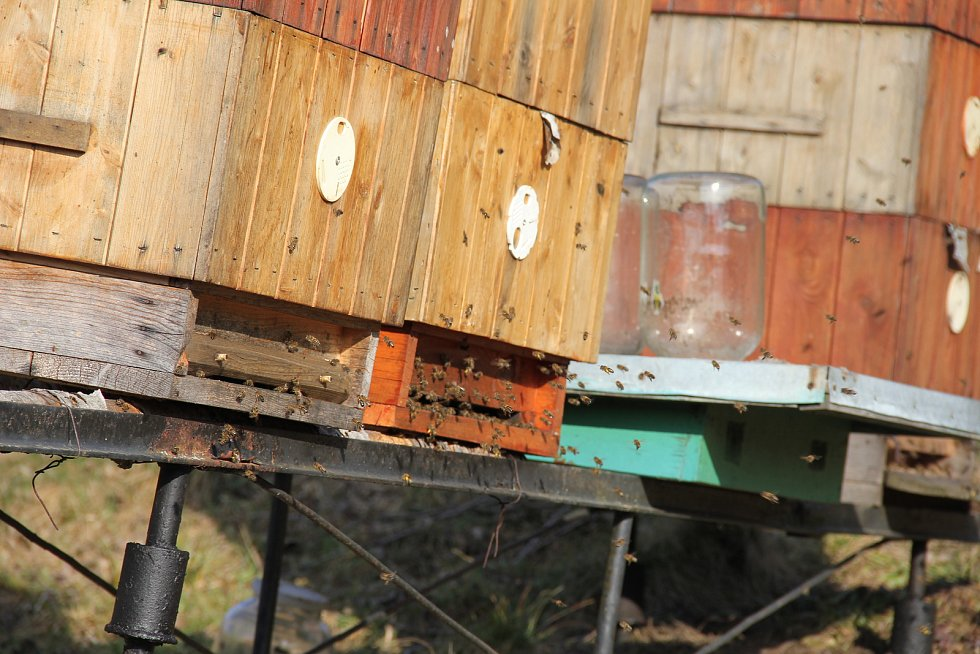 Ne všichni včelaři už mají v množství letošního medu jasno. Někteří z nich sice již sladkou dobrotu z plástů vytočili, jiní ale s medováním v tuto chvíli ještě ani nezačali.