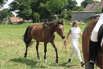 Teplokervník Benjamin (na snímku) bude moct opět trénovat se svou paní. Po několika dnech, kdy po něm bylo vyhlášeno pátrání policií, byl kůň objeven až u Boskovic.