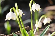 Křehká krása bílých květů bledulí ve Světnovském údolí.
