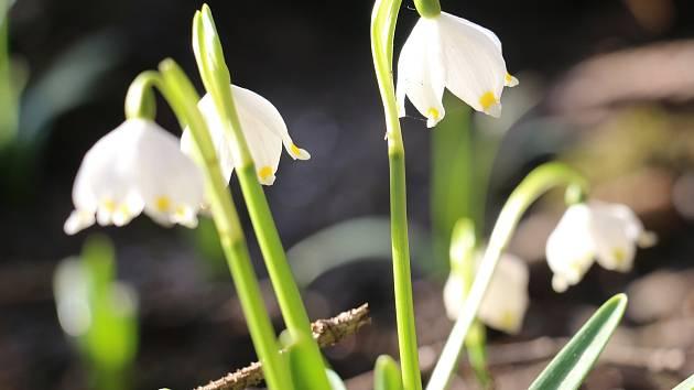 Bledule už rozkvetly i ve Světnovském údolí. Letos je jich ale mnohem méně