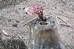 Lesklokorka lesklá byla známá už v dávné historii.