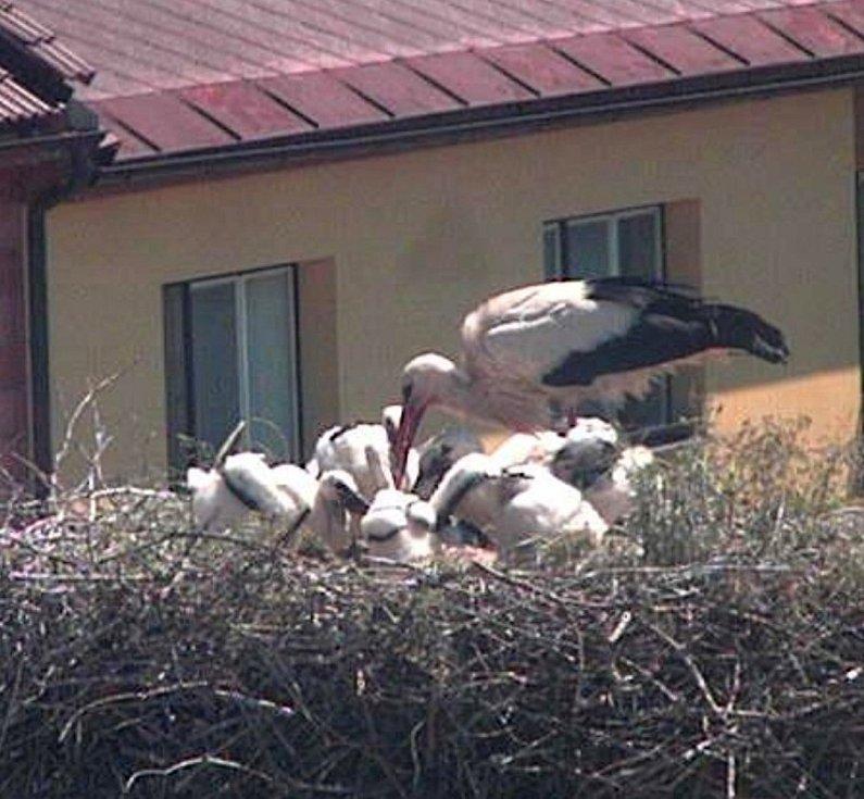 Prostřednictvím čapí webkamery lze sledovat život rodinky čápů v Novém Veselí.