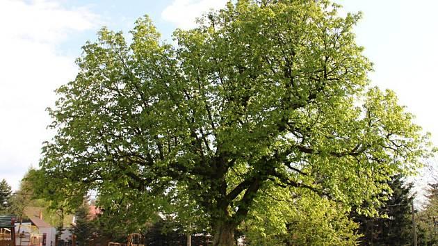 Stáří mohutného stromu, který do celostátní ankety přihlásil Sklenský sousedský spolek, je odhadováno na sto padesát let.