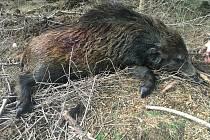Setkání s postřelenou zvěří v lesním porostu není výjimečnou záležitostí. Myslivci pak musí raněné zvíře dohledat a ukončit jeho trápení.