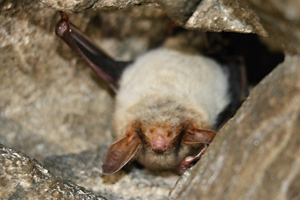 Nejčastějším netopýrem ve Žďárských vrších je netopýr velký.