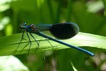 Motýlice lesklá - foto Jan Moravec