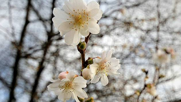 V Polné na náměstí kvetou třešně.
