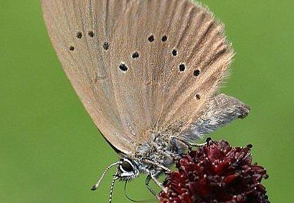 Modrásek bahenní je vzácný motýl.